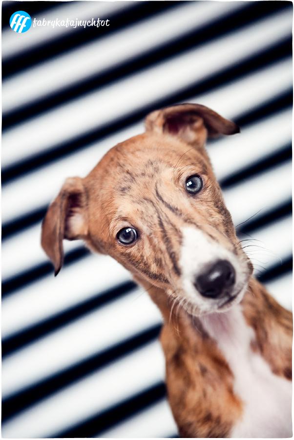 sesja zdjęciowa dla hodowców psów